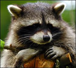 raccoon removal Katy